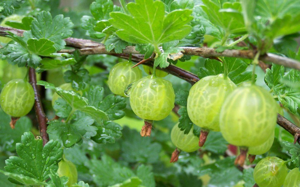 About Beauty Frutti di bosco Uva Spina
